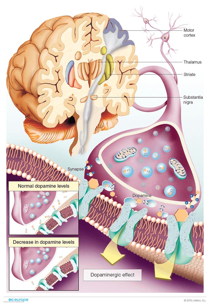 Anatomy clipart neurology #11