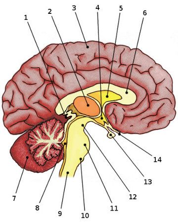 Anatomy clipart neurology #5