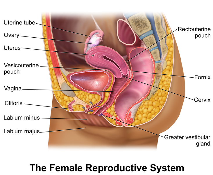 Reproductive System the of Physiology