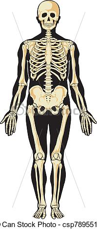 Anatomy clipart appendix  Skeleton of skeleton Art