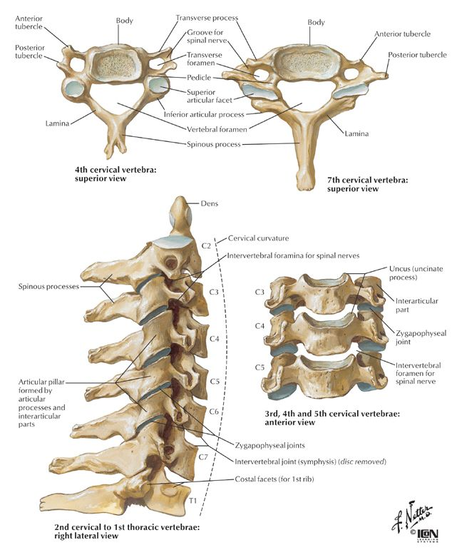 Anatomy clipart strong bone Up connections cervical jpg Pinterest