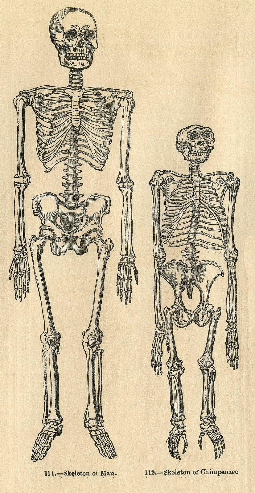 Anatomy clipart starvation Clip Halloween – Fairy Vintage