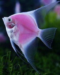 Angelfish clipart beautiful fish On rg Pretty Angelfish sg