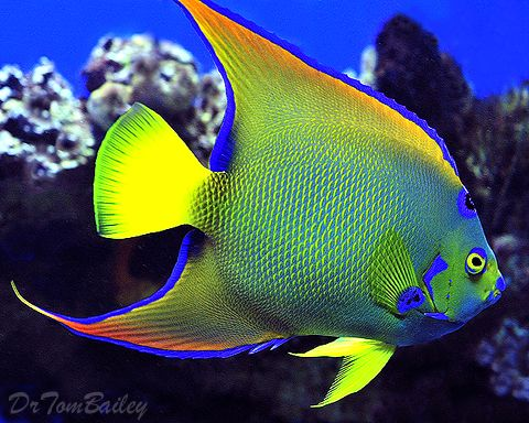 Angelfish clipart beautiful fish Best magnificent fish ideas Colorful