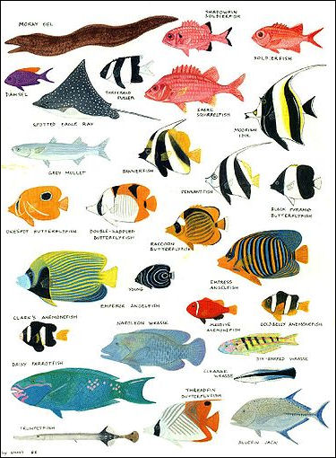 Angelfish clipart colorful fish OTHER AND and DAMSELFISH ANGELFISH