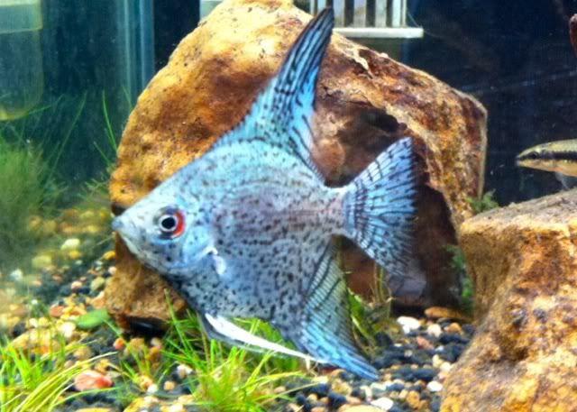 Angelfish clipart ikan Tropical Angelfish fish best Blue