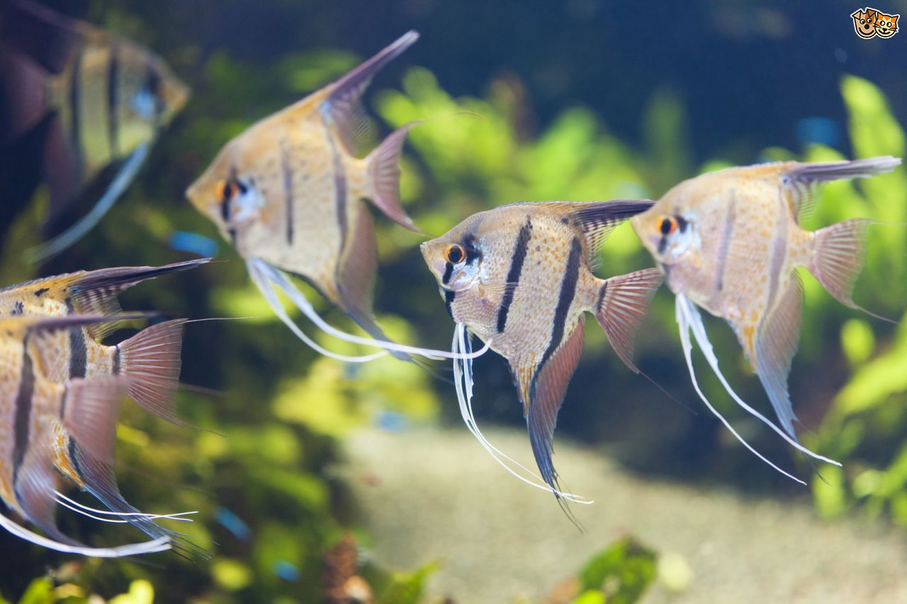 Angelfish clipart ikan Photo#25 Images Freshwater angelfish Freshwater