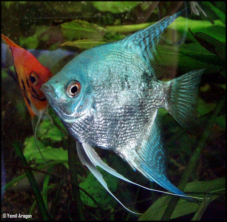 Angelfish clipart ikan Fish This Blue At Pinterest