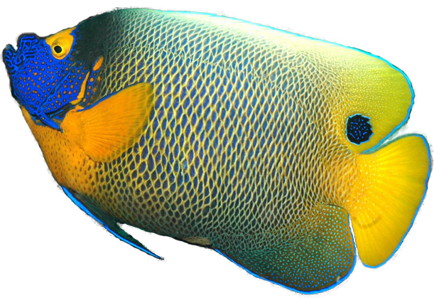 Angelfish clipart realistic fish Bluefaced Tropical Downloads Angelfish Fish