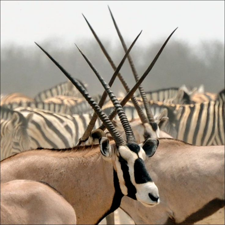Animal Kingdom clipart native african Pinterest best Find animals images