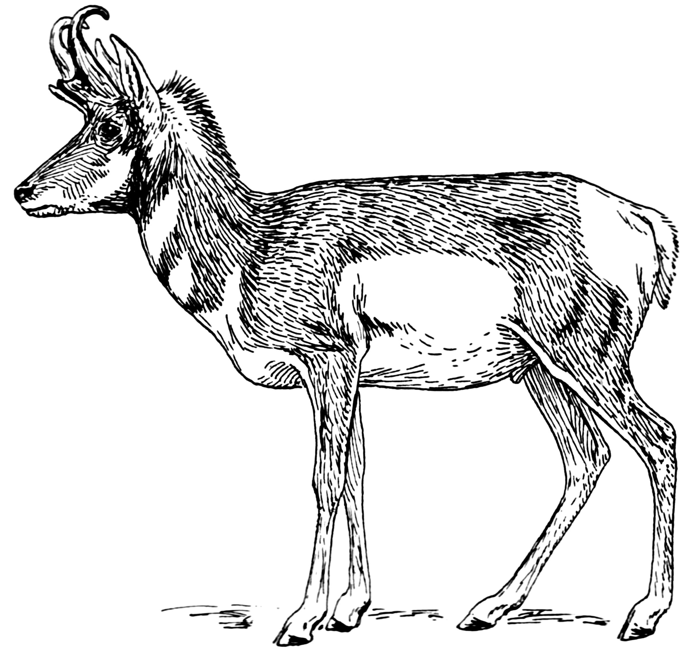 Antelope clipart cartoon Photo#13 Pronghorn Pronghorn drawing Drawing