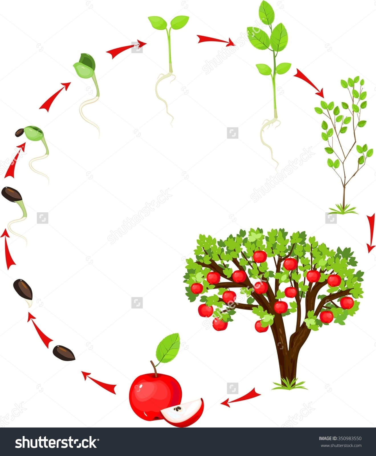 Seed clipart cartoon Cycle tree collections clipart Apple