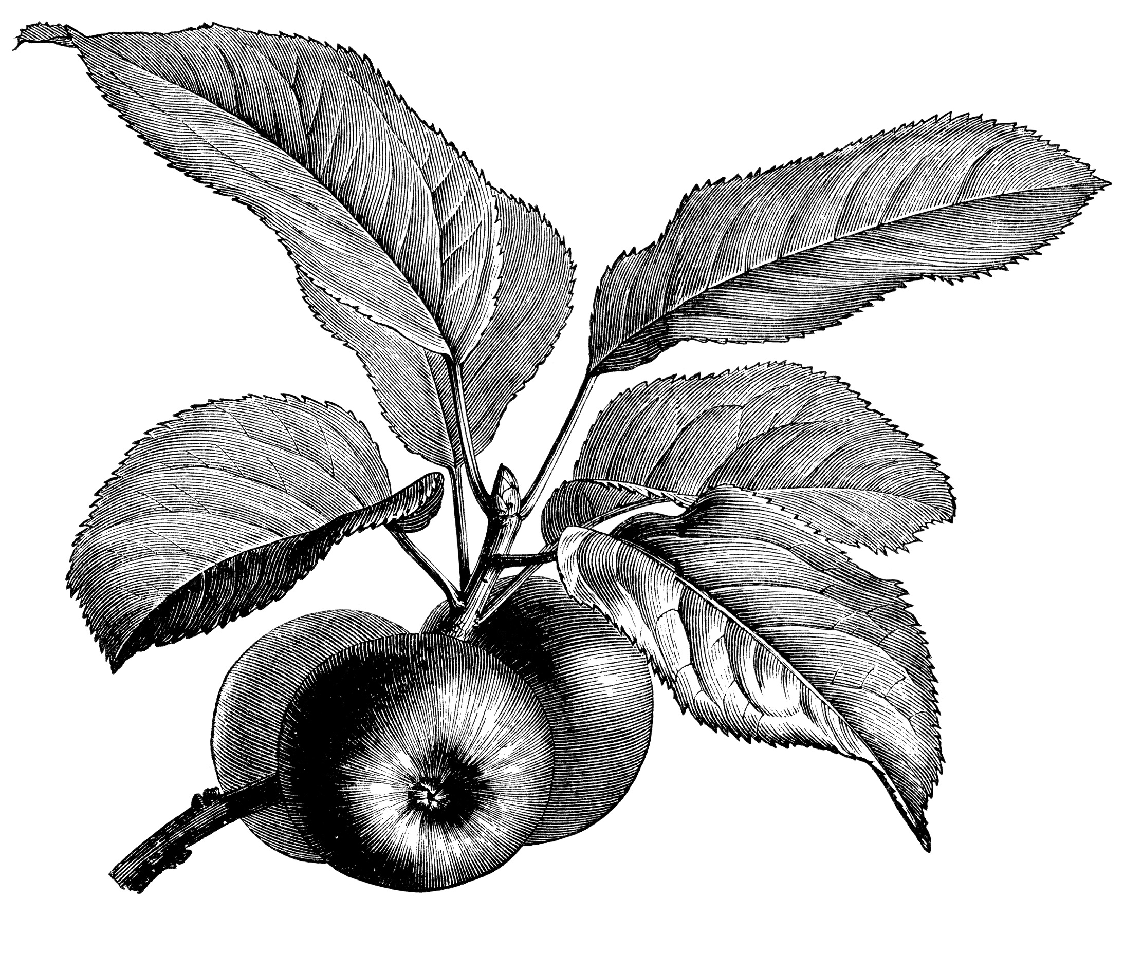 Leaves clipart windy Clip apple fruiting black fruiting
