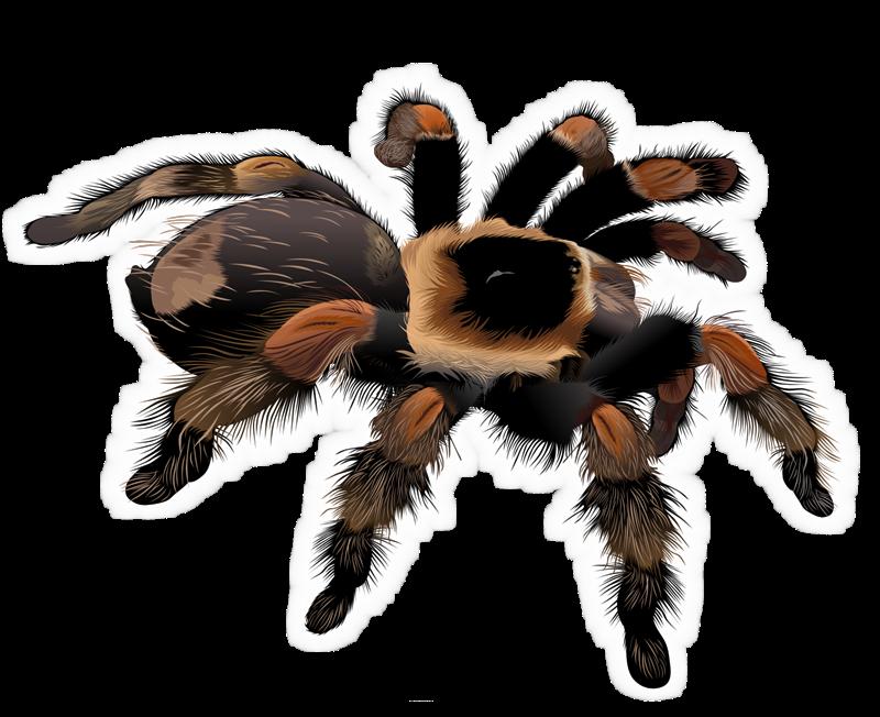 Tarantula clipart Clip Use to of a
