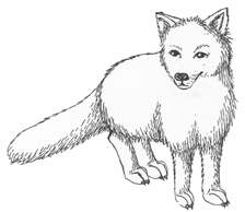 Polar Fox clipart #8