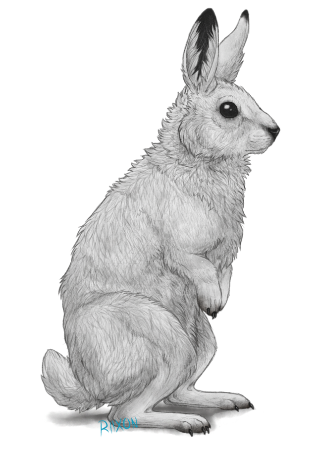 Drawn bunny step by step Hare Clipart Arctic Arctic hare