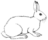 Arctic Hare clipart Hare coloring Arctic coloring #10