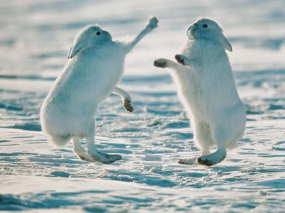 Arctic Hare clipart arctic seal 25+ on Pinterest Pictures hare