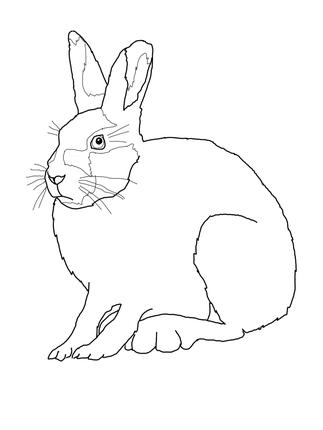 Arctic Hare clipart artic Arctic clipart Clipart (28+) Snowshoe