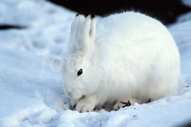 Arctic Hare clipart artic In Gallery Cute hare Arctic