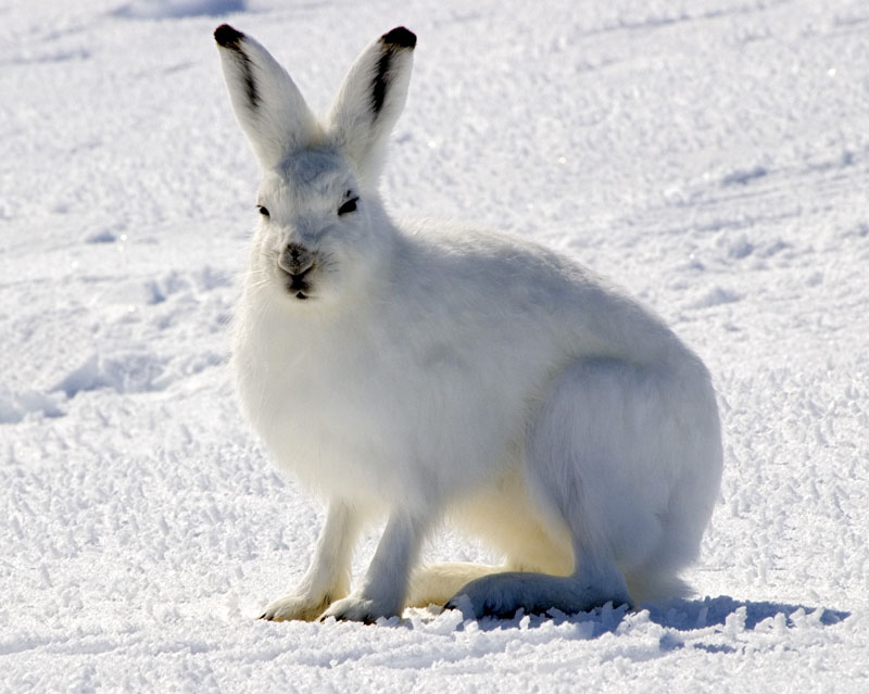 Arctic Hare clipart artic Hare Arctic Download Hare #6
