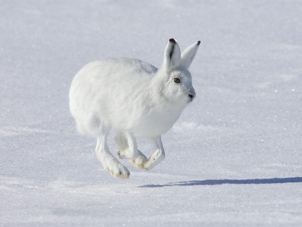 Arctic Hare clipart artic  Animals LiveBinder Arctic