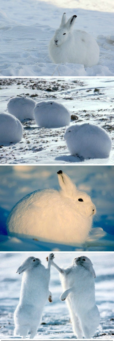 Arctic Hare clipart artic Hare they five a ideas