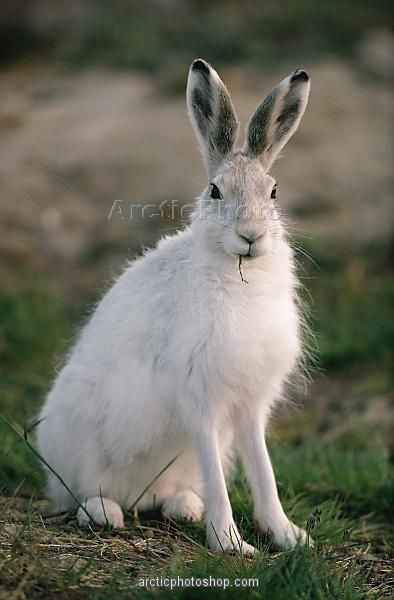 Arctic Hare clipart artic On summer Island Lepus Pinterest