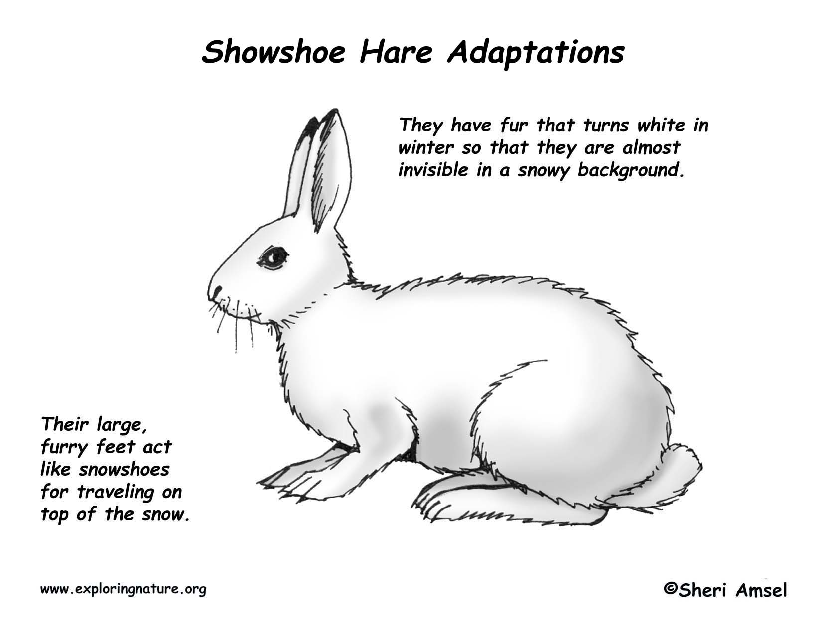 Arctic Hare clipart coloring Coloring Coloring Hare Hare habitat