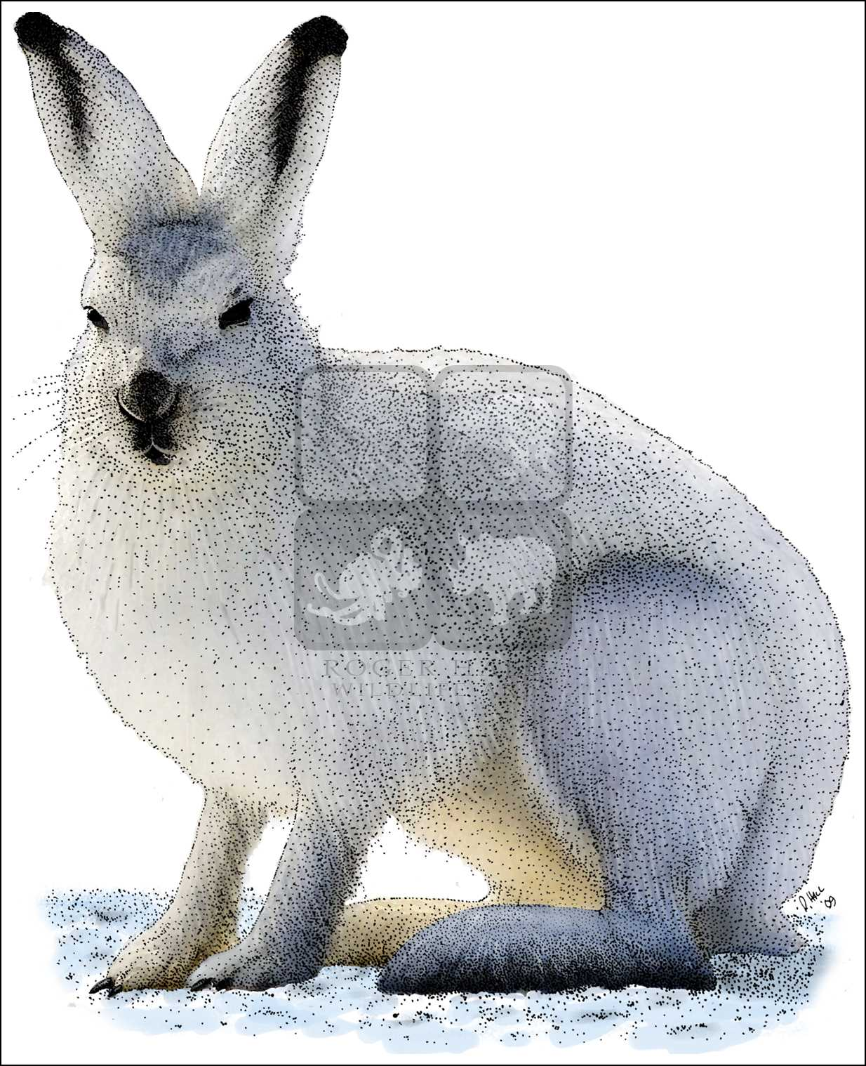 Arctic Hare clipart coloring Line Color americanus) Full Hare