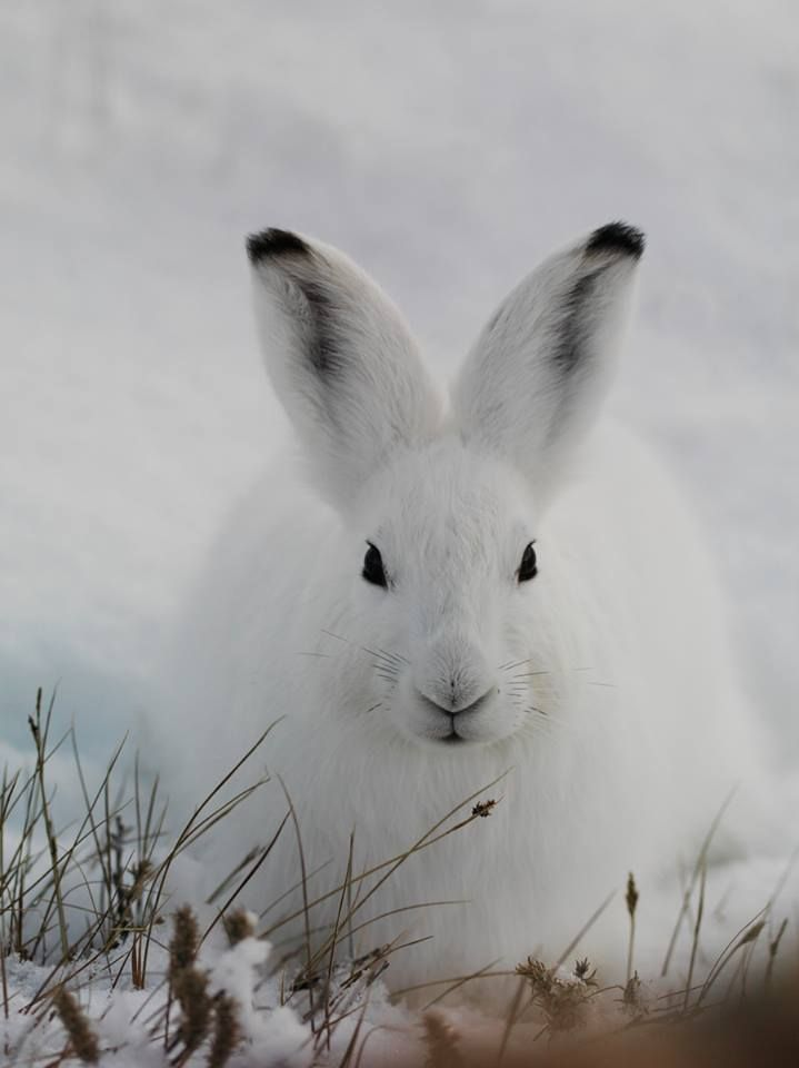 Arctic Hare clipart coloring Regions 25+ Circle northern Pinterest
