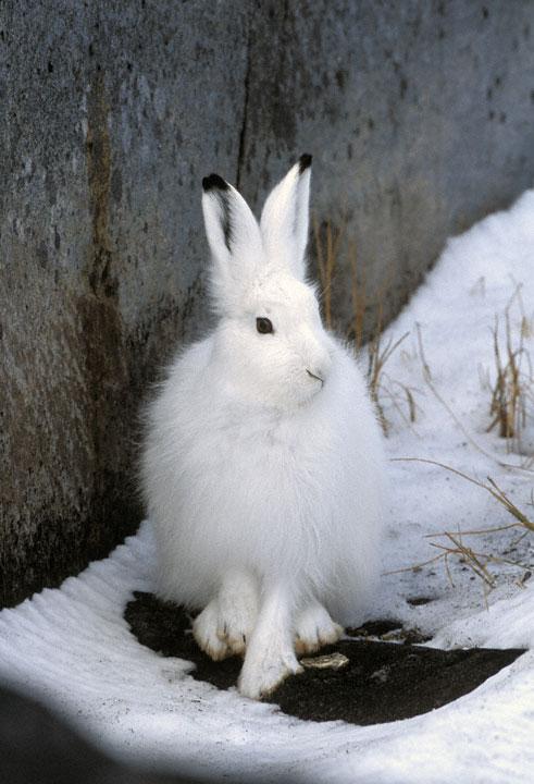 Arctic Hare clipart running hare Arcticus) Arctic (Lepus Hare