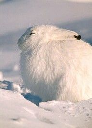 Arctic Hare clipart wild rabbit About  Rabbits hare Animal