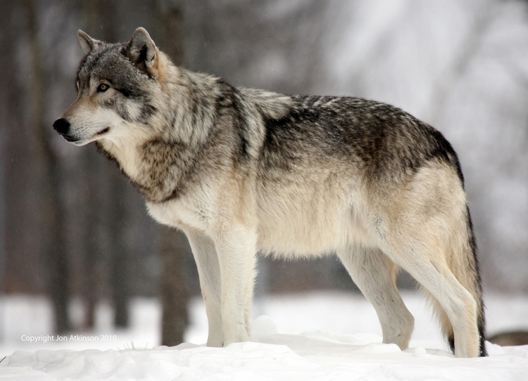Arctic Wolf clipart gray wolf · My Pinterest animal WolvesGray