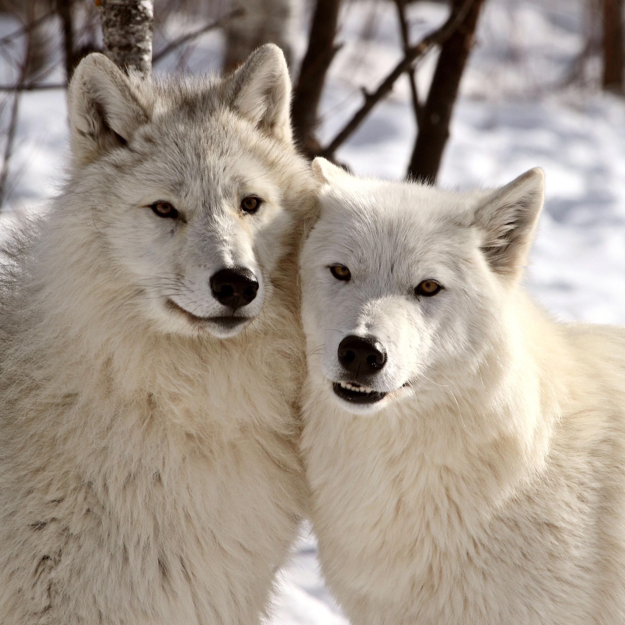 Arctic Wolf clipart i love #1 wolves #276534 wolves Cuddling
