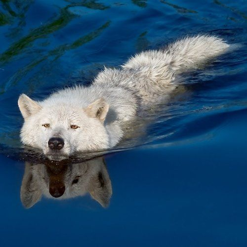Arctic Wolf clipart tundra animal Wolf this ideas Animal Arctic