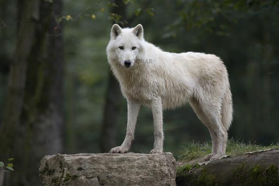 Arctic Wolf clipart tundra animal Tundra Wolf Arctic wolf photo#18