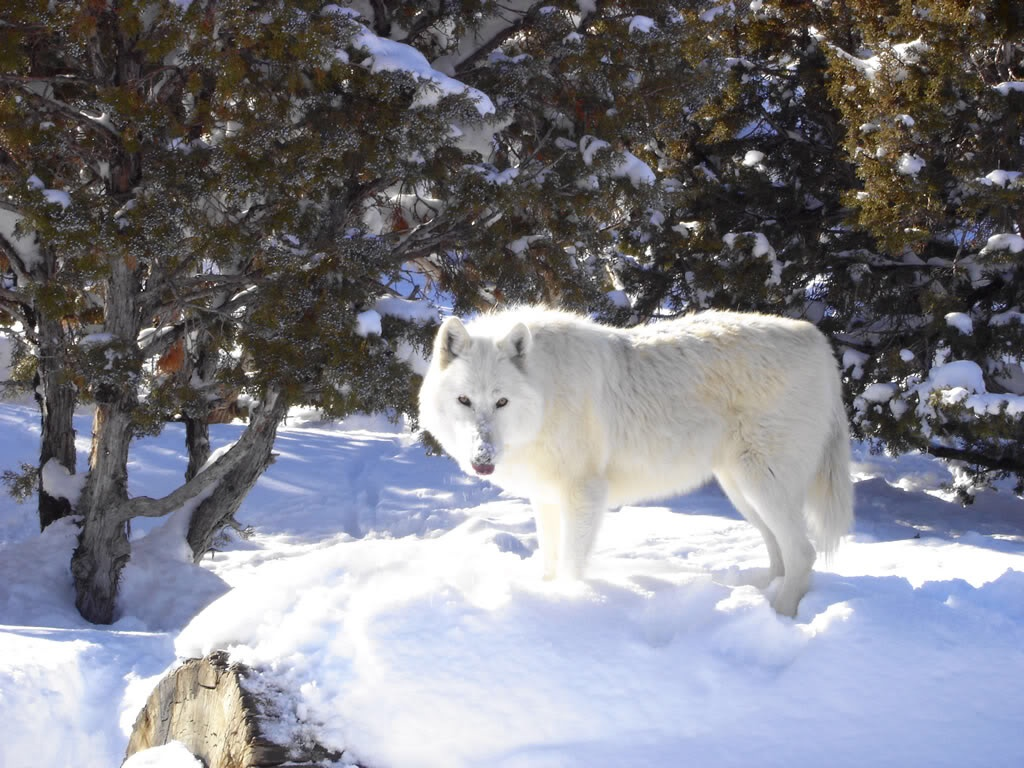 Arctic Wolf clipart winter Arctic_Wolf DGARCTIC World Arctic Wolf