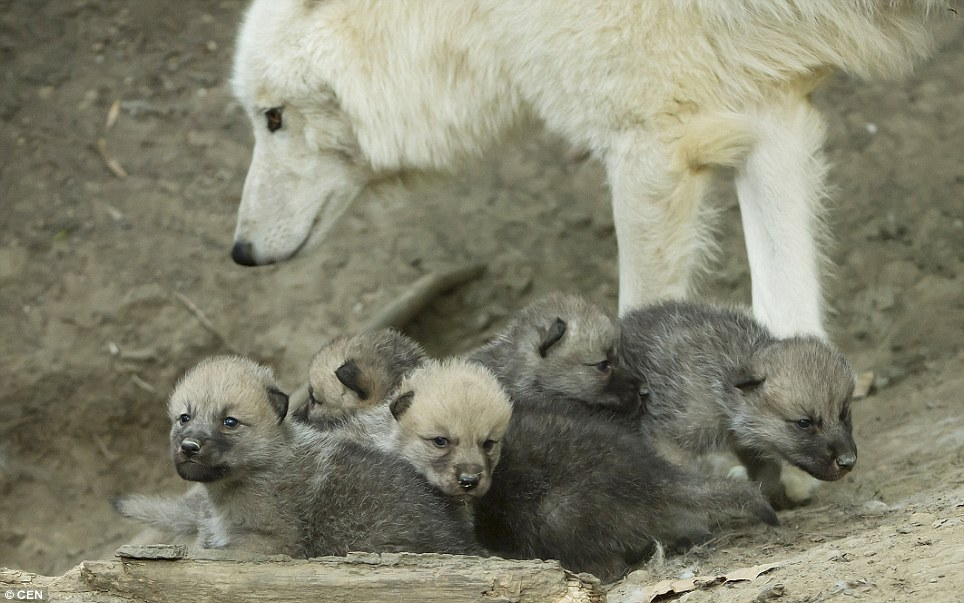 Arctic Wolf clipart wolf cub Baby mom wolf photo#9 arctic