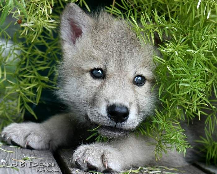 Arctic Wolf clipart wolf cub Wolf Wolf more Pin on