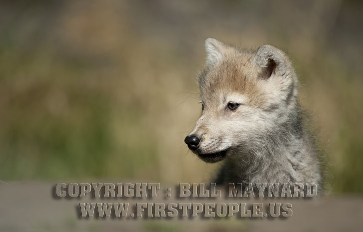 Arctic Wolf clipart wolf pup Polar aka Wolf Pup Canis
