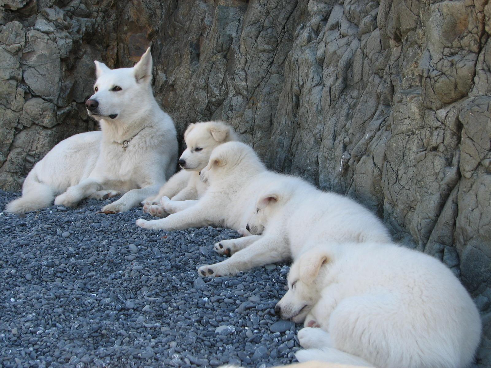 Arctic Wolf clipart wolf pup Arctic Facts – information habitat