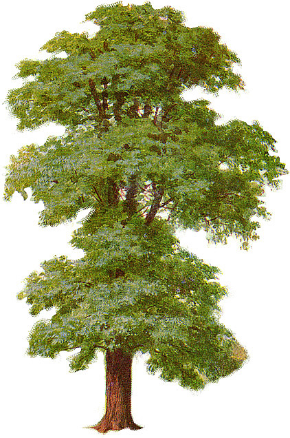 Birch clipart ash tree Download Elm Tree Clipart Tree