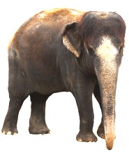 Asian Elephant clipart Elephant Are Facts Elephant Species