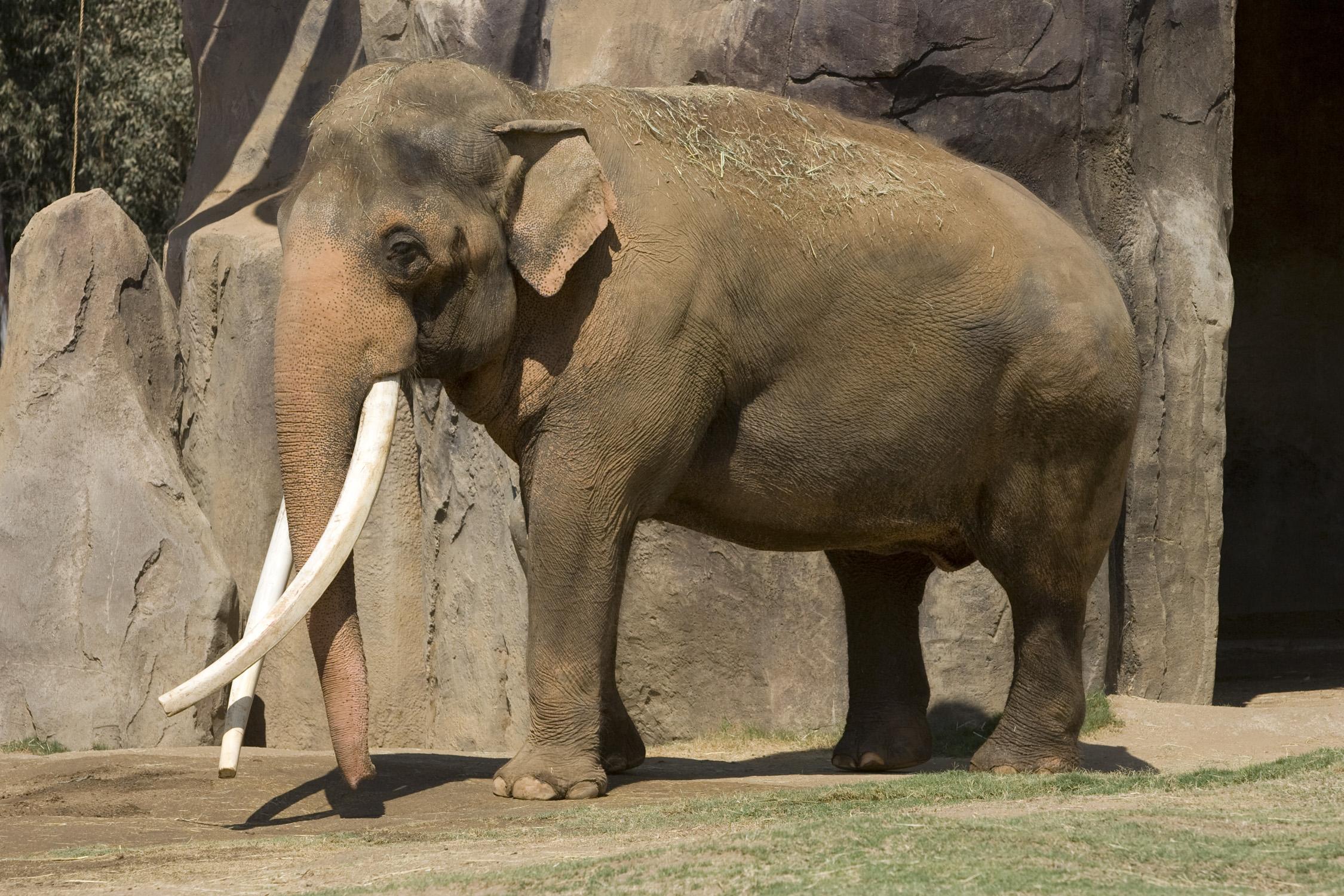 Asian Elephant clipart african elephant Vs wallpaper African Vs Asian