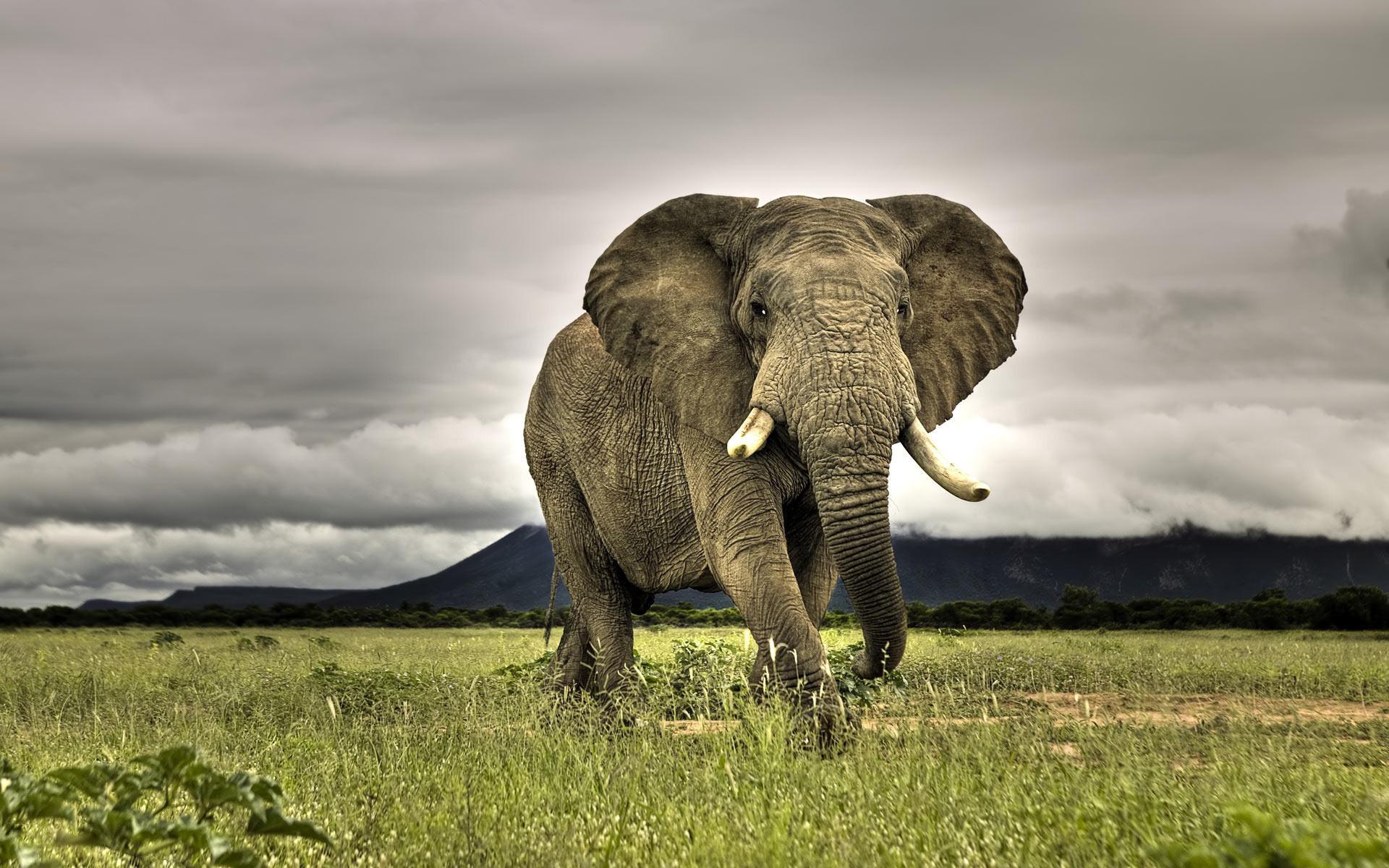 Asian Elephant clipart african elephant Wallpaper Elephants Asian African Elephants