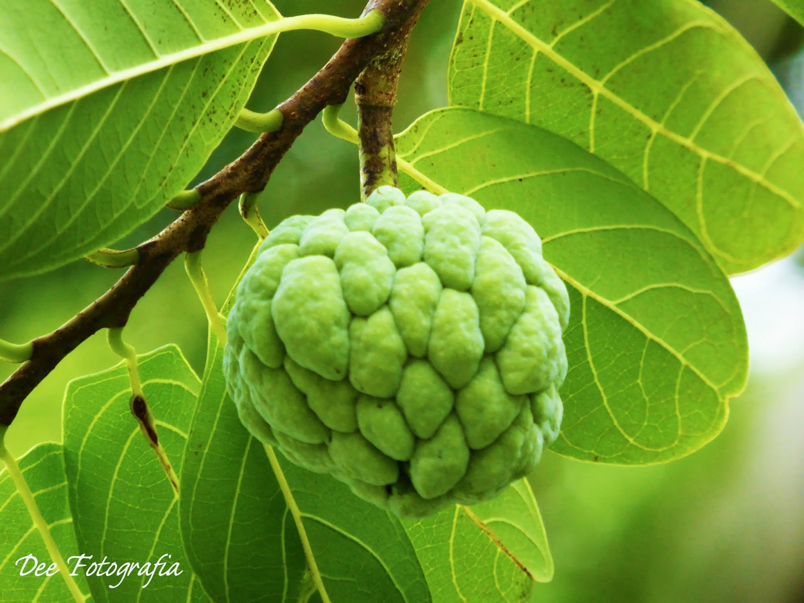 Sugar Apple clipart Images: collection Atis Clipart atis