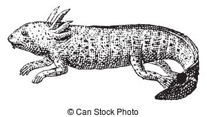 Axolotl clipart Royalty 70 Clipart engraved