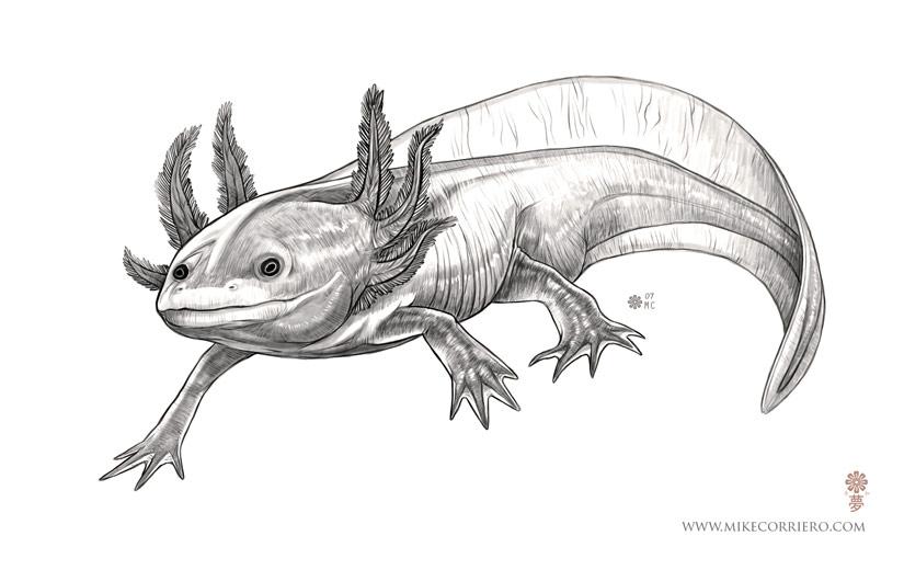 Axolotl clipart pink Axolotl Axolotl Illustration illustration photo#21