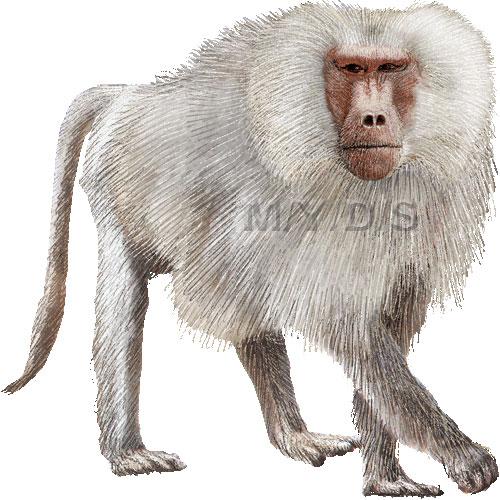 Baboon clipart moneky Clipart photo#16 Cute clipart Cute